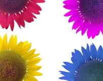 Färgrik solros och vitbakgrund Arkivbilder