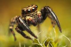Färgrik spindel (den Pseudeuophrys lanigeraen) Fotografering för Bildbyråer