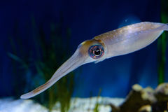 färgrik tioarmad bläckfisk Royaltyfri Bild