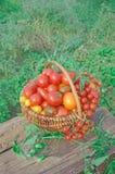 Färgrik tomatblandning i korg arkivbild