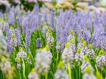 Färgrik trädgård av druvahyacinten, härlig färgmascariflowe Royaltyfri Fotografi