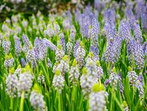 Färgrik trädgård av druvahyacinten, härlig färgmascariflowe Royaltyfri Bild