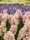 Färgrik trädgård av hyacintblomman Arkivbilder