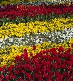 färgrik trädgårds- tulpan Royaltyfria Bilder