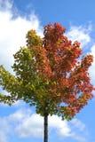 färgrik tree för fallleavessäsong Arkivfoto