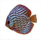 färgrik tropisk diskusfisk Fotografering för Bildbyråer