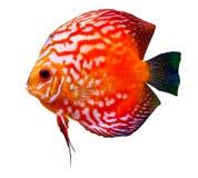 färgrik tropisk diskusfisk Royaltyfria Foton