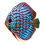 färgrik tropisk diskusfisk Arkivfoton