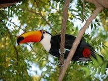 Färgrik tukan i ett träd Fotografering för Bildbyråer