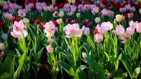 Färgrik tulpan i ett tulpanfält Royaltyfri Foto