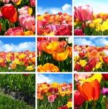 Färgrik tulpanblommauppsättning - samlingscollage från nio foto av natur arkivfoton