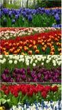 Färgrik tulpanrengöringsduktitelrad/baner Royaltyfria Bilder
