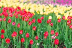 Färgrik tulpanträdgård i vår Royaltyfri Bild