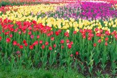 Färgrik tulpanträdgård i vår Royaltyfri Foto