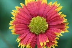färgrik tusenskönablomma i parkera Royaltyfri Fotografi