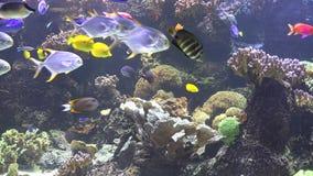 Färgrik undervattens- mångfald av korallreven med många exotisk fisk stock video