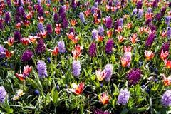 Färgrik vårblommablandning Royaltyfri Foto