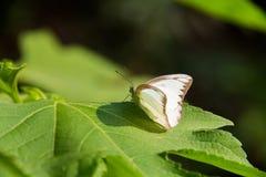 Färgrik vit batterfly med det gröna bladet Royaltyfria Bilder