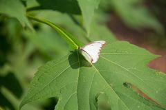 Färgrik vit batterfly med det gröna bladet Arkivbilder