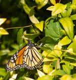 färgrika ägg för fjäril som lägger monarken Royaltyfri Foto