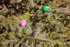 Färgrika ägg i pälsträdfilialer Äggjakt: traditionell familjaktivitet på påskdag Royaltyfri Foto