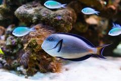 Färgrika akvariefiskar Royaltyfri Foto