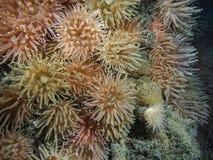 Färgrika anemoner i det arktiska havet, Spitsbergen fotografering för bildbyråer