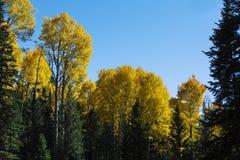 Färgrika Arizona som skälver aspen och pinjeskogen i höst royaltyfri fotografi