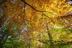 Färgrika Autumn Deciduous Forest Looking Upwards Royaltyfria Foton