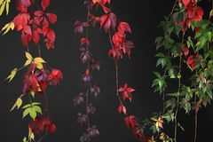 Färgrika Autumn Tree Vines som sträcker ner svart bakgrund, studiobild Royaltyfria Foton