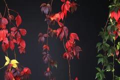 Färgrika Autumn Tree Vines som sträcker ner svart bakgrund, studiobild Arkivbilder