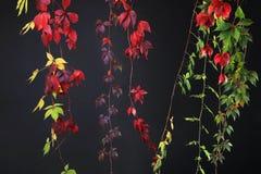 Färgrika Autumn Tree Vines som sträcker ner svart bakgrund, studiobild Royaltyfri Foto