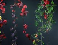 Färgrika Autumn Tree Vines som sträcker ner svart bakgrund, studiobild Royaltyfria Bilder