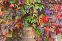 Färgrika Autumn Tree Vines som sträcker ner tegelstenväggen Arkivbilder
