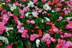 Färgrika begoniablommor Fotografering för Bildbyråer