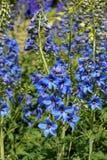 Färgrika blåa riddarsporreblommor royaltyfria foton