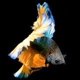 Färgrika blått, orange Siamese stridighetfisk Fotografering för Bildbyråer