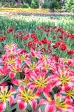 Färgrika blommafält Fotografering för Bildbyråer