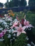 Färgrika blommaliljor arkivbild