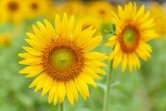 F?rgrika blommande solrosor p? suddig f?ltbakgrund Gula blommor ?r i blom i morgonljuset Sommarblomning royaltyfria bilder