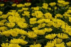 Färgrika blommaskärmar på det Dasada gallerit, Prachinburi, Thailand arkivbilder