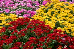 Färgrika blommaskärmar på det Dasada gallerit, Prachinburi, Thailand royaltyfri foto