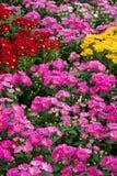 Färgrika blommaskärmar på det Dasada gallerit, Prachinburi, Thailand royaltyfri fotografi