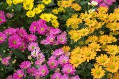 Färgrika blommaskärmar på det Dasada gallerit, Prachinburi, Thailand fotografering för bildbyråer