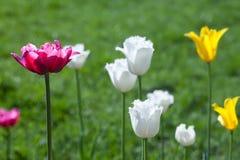 Färgrika blommatulpan för vår vit, guling och rosa färger Royaltyfria Bilder