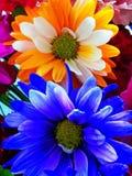 färgrika blommor Royaltyfri Foto