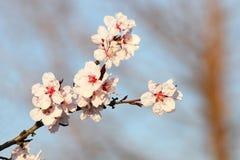 Färgrika blommor av det japanska körsbärsröda trädet Arkivfoton