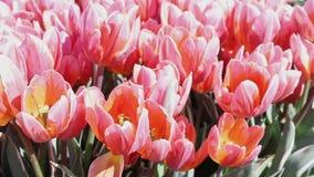 Färgrika blommor av tulpan arkivfilmer