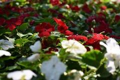 Färgrika blommor blommar i parkera, härlig bakgrund Arkivbilder