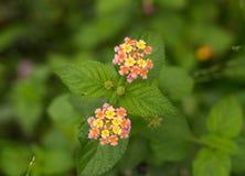 Färgrika blommor i Asien royaltyfri fotografi